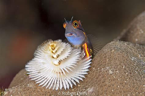 bird s head seascape tailspot blenny with christmas tree