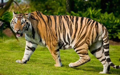 wallpaper tiger free download download tiger wallpapers download desktop backgrounds