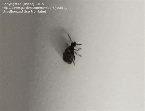Tiny Beetle Like Bugs In Kitchen by Insect And Spider Identification Small Black Beetle