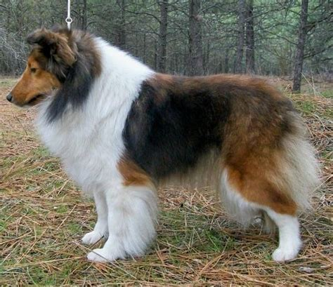 sheepdog puppies ohio 295 best images about shelties