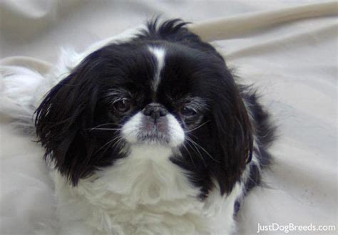 japanese breeds chinnie japanese chin breeds