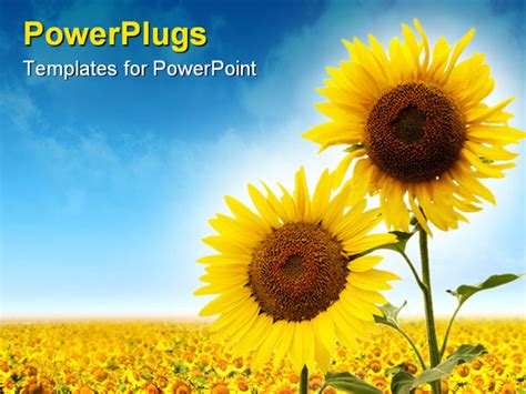 sunflower powerpoint template a of sunflowers the blue skies powerpoint