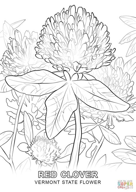vermont state flower coloring page free printable