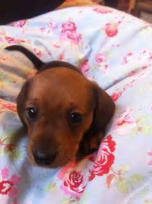 Dachshund Bed Our Baby Sausage Dog Lucinda S Inspiration Pinterest