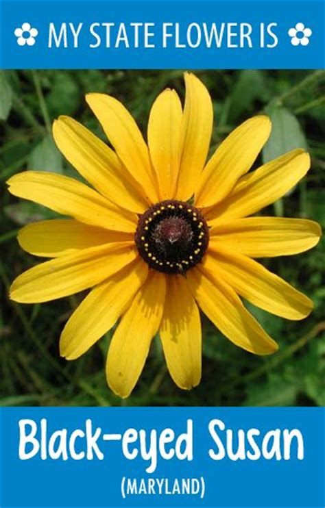what is a state flower maryland s state flower is the black eyed susan what s