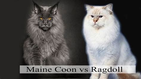 ragdoll cat size maine coon vs ragdoll what are the differences