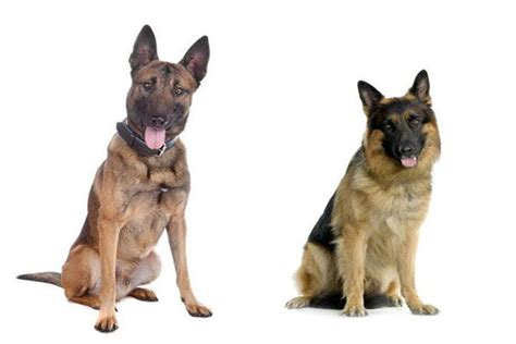 belgian malinois vs german shepherd the difference between german shepherds and belgian malinois if you been asking