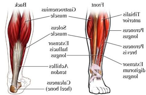 lowered muscle muscles foot diagram human body anatomy system