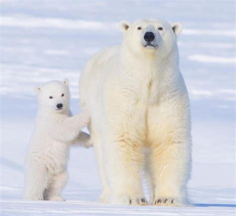 imagenes animales polares 1000 ideas sobre cachorros de oso polar en pinterest
