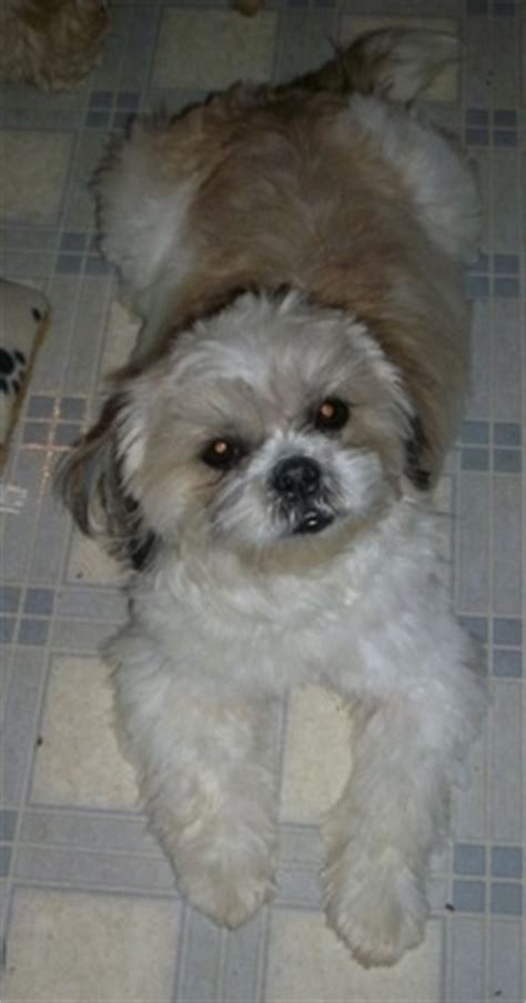 Do Lhasa Apso Shed by Lhasa Apso With Eight Babies Breeds