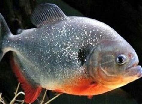 Lu Aquarium Kecil media penyuluhan perikanan pati budidaya ikan bawal air tawar