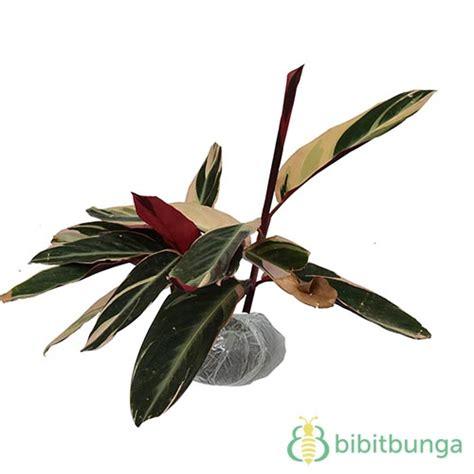 Tanaman Hias Daun Calathea Zebrina tanaman calathea multicolor