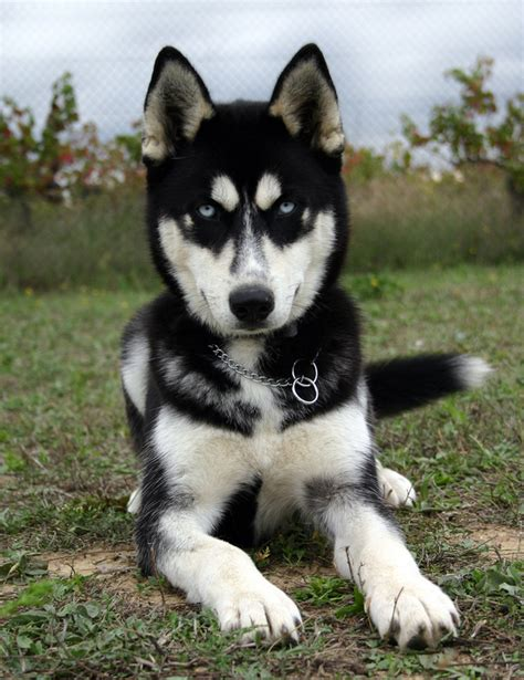 7 Facts On Huskies by Pin Husky Breed Information Siberian On