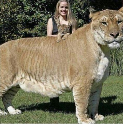 biggest house cat in the world biggest house cat in the world 2017 interior design