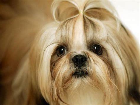 shih tzu cuidados perro shih tzu fotos caracter 237 sticas cuidados de razas de perros animalesmascotas
