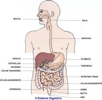 organi interni addome lato destro turcatoclasse20 apparato digerente