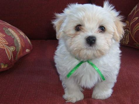 heavenly havanese my heavenly havanese puppy pages
