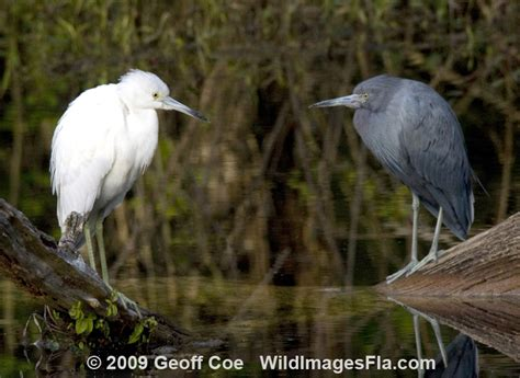Little Blue Heron Light And Dark Birdnote Blue Heron Nh 2