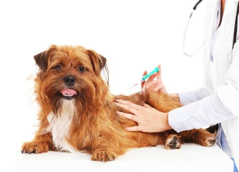 puppy vaccinations tumor related to vaccinations in dogs petmd