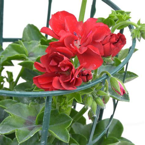 edera vaso geranio edera vaso 14 bonini piante