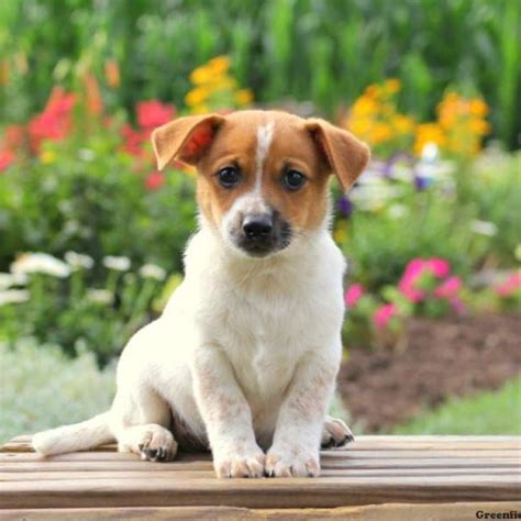 pomeranian fox terrier mix puppies for sale puppies for sale in pa