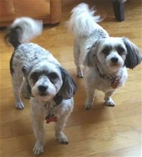 havanese rescue california havanese rescue dogs on adoption rescue dogs and theater