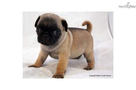 pug puppies characteristics pug puppy for sale near lincoln nebraska f4d5e558 5de1