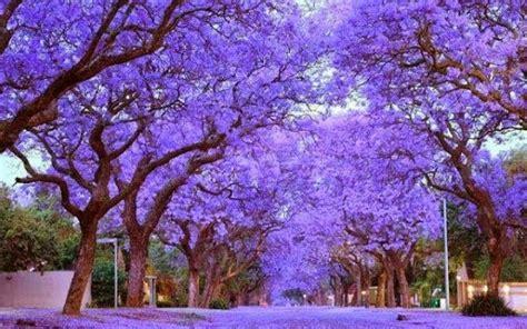 royal empress tree images  pinterest fast