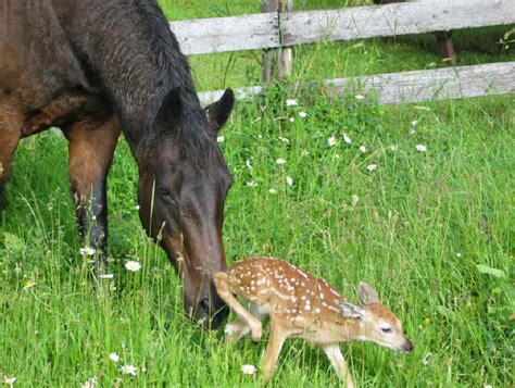 saves fawn the that helped save a fawn from all creatures animal stories