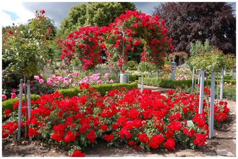 wallpaper flower garden rose red rose flower garden wallpaper http refreshrose