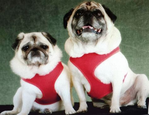 pug before pug and shelby shoaff july 2015 pet of the month veterinarians in oviedo florida