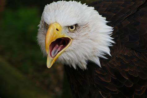 Bald Eagle   The Life of Animals