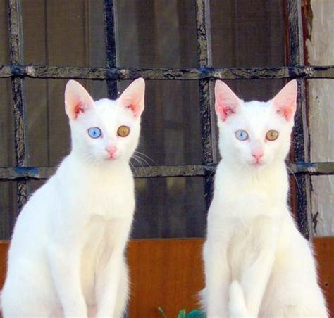 twin cats twin white cats i love cats 1 pinterest