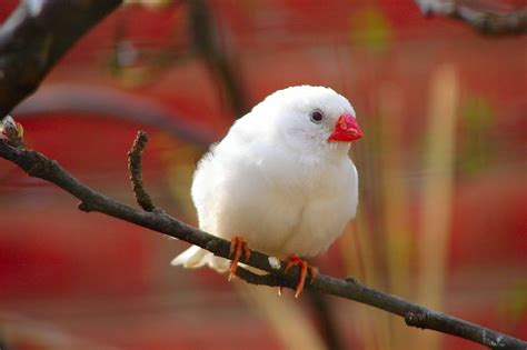 zebra finch facts diet breeding mutations pet care
