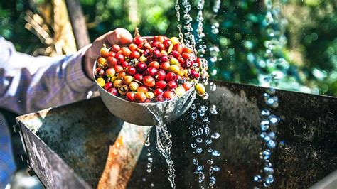 full wash  semi wash   perbedaannya majalah otten coffee