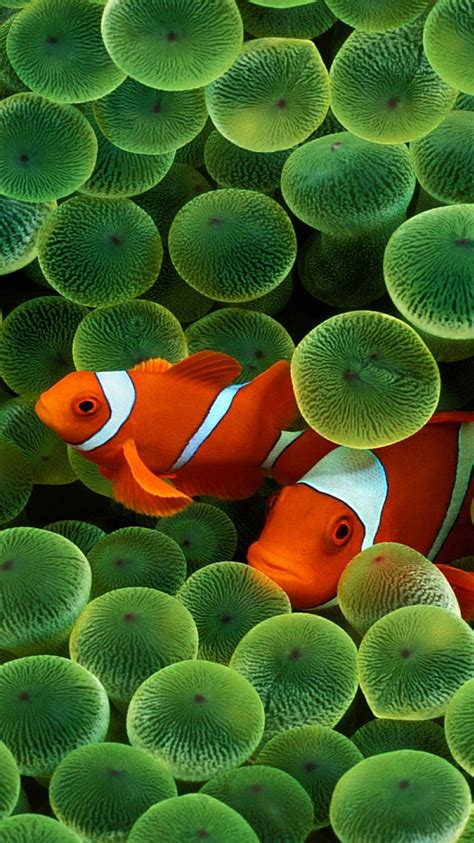 wallpaper for iphone fish clown fish iphone 6 wallpaper hd iphone 6 wallpaper