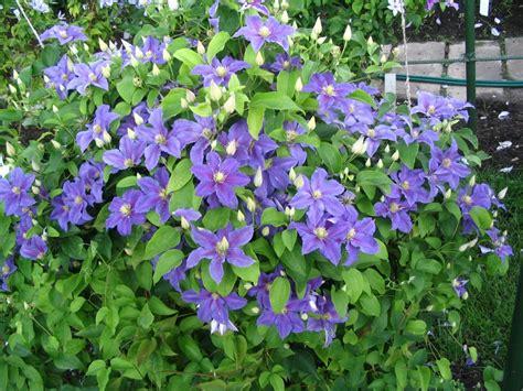 clematis hybrid ristimagi uspp 22922 pride of place plants