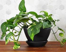 Mother In Law House Houseplant Week Pothos Real Life On Purpose