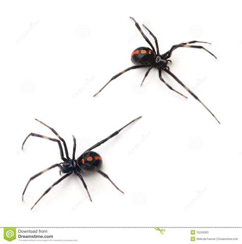 imagenes viudas negras viuda negra fotos de archivo imagen 15245363