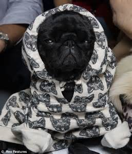 clothes with pugs on them snug as a pug the canine fashion season has begun and one breed the pavement