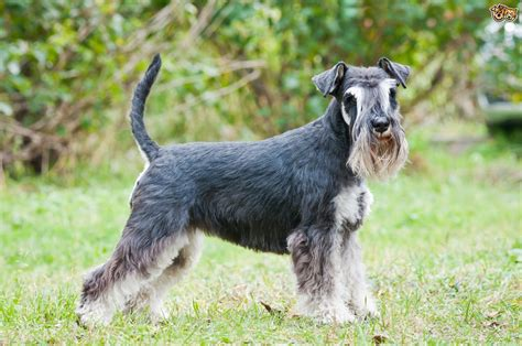 breed schnauzer five fascinating facts about the schnauzer breed pets4homes