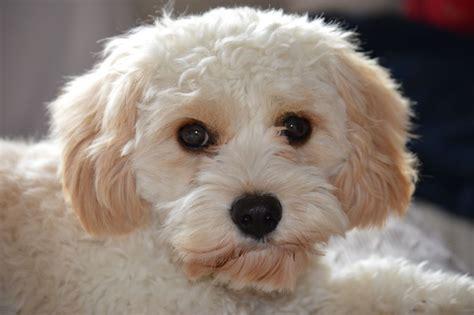 cavachon rescue dogs cavachon related keywords cavachon long tail keywords