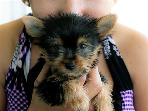 how to choose a yorkie puppy how to choose a yorkie puppy 14 steps with pictures