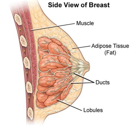 diagram of milk ducts in breast mammary duct ectasia gynecological diseases epharmapedia