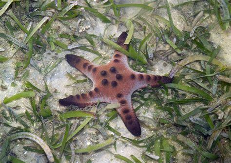 chocolate starfish meaning real monstrosities chocolate chip starfish