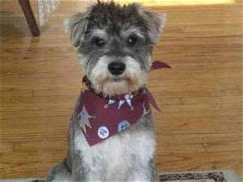 mini schnauzer haircut styles pinterest the world s catalog of ideas