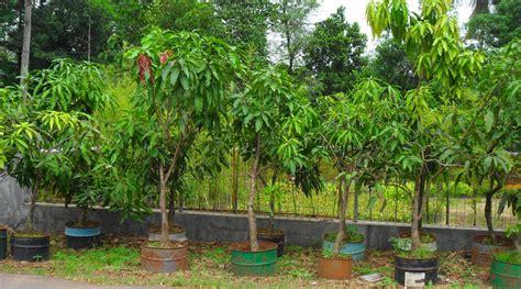 Bibit Pohon Mangga Gedong Gincu pusat penangkaran bibit mangga november 2011