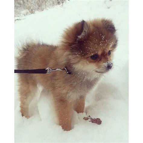 pomeranian puppies for sale in cedar rapids iowa best 25 pomeranian pups ideas on pomeranian baby pomeranian and