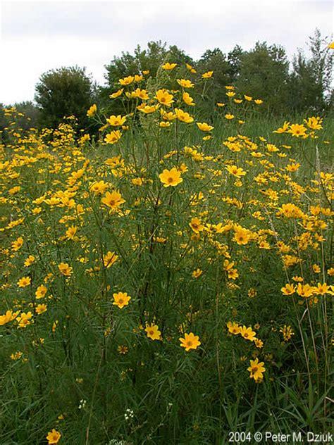 Bidens Pflanze by Bidens Trichosperma Crowned Beggarticks Minnesota