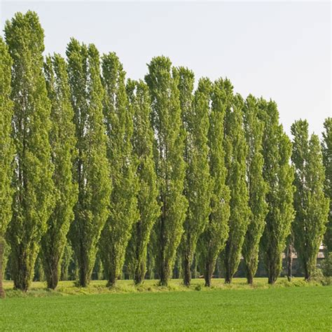 popular trees top 30 fastest growing trees for your home fast growing